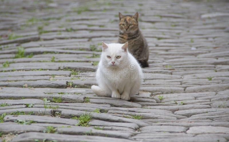 Twee wilde katten royalty-vrije stock afbeeldingen