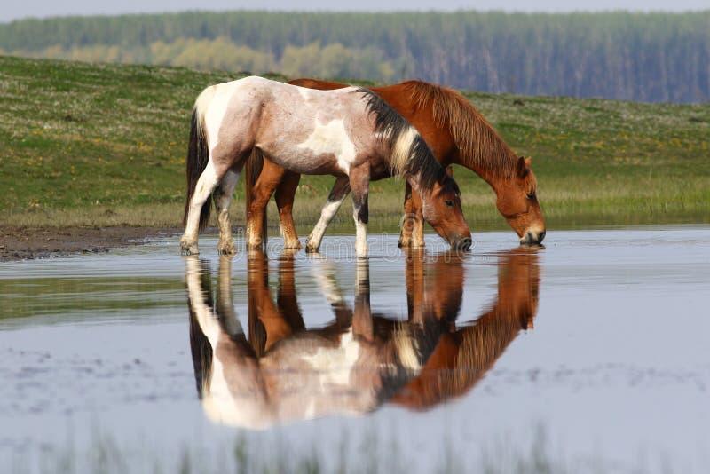 Twee wilde mooie paarden op de vijver stock foto's