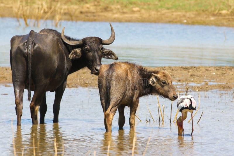 Twee wilde waterbuffelskalf en koe en geschilderde ooievaar in Yala stock foto's