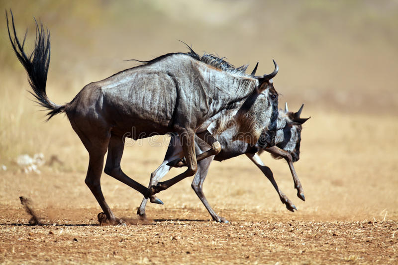 Twee Wildebeests Die De Savanne Doornemen Stock Fotografie