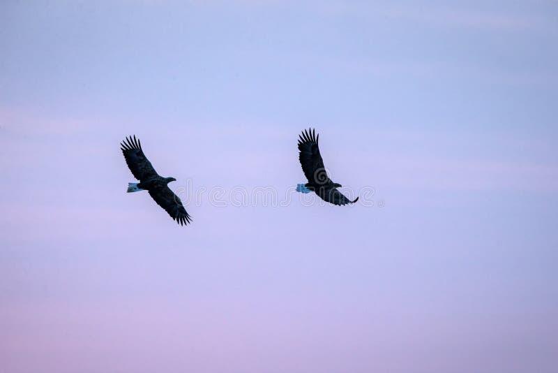 Twee wit-de steel verwijderde van adelaars tijdens de vlucht, adelaar die tegen kleurrijke hemel met wolken in Hokkaido, Japan, s royalty-vrije stock afbeelding