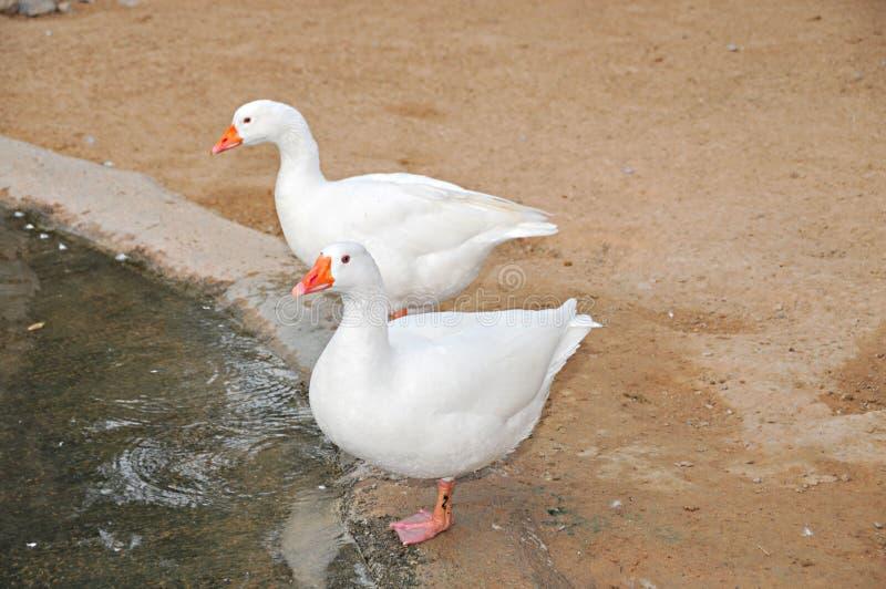 Twee witte Arabische eenden royalty-vrije stock foto