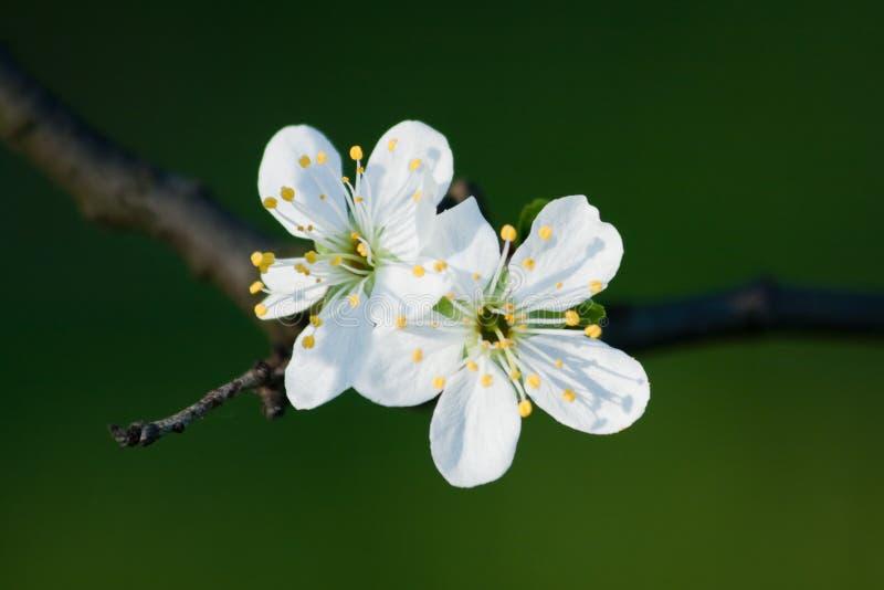 Twee witte bloemen royalty-vrije stock foto's