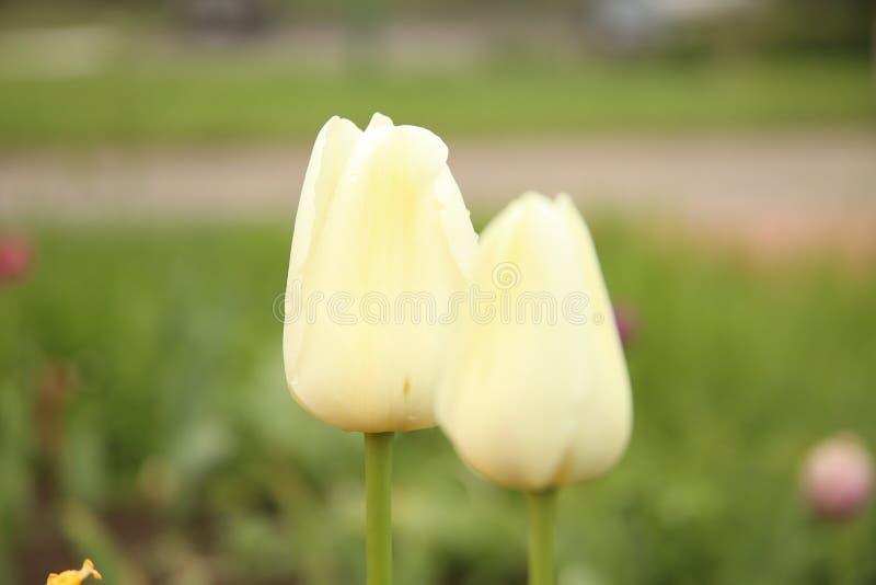 Twee witte bloemen op groen gras stock afbeelding