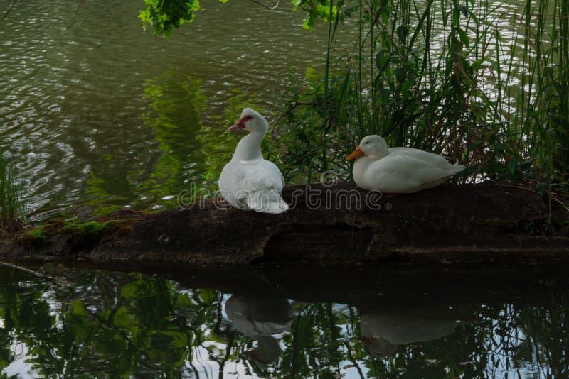 Twee witte eenden zit op oude login de landelijke die vijver door groen gras wordt omringd Gans op groene achtergrond royalty-vrije stock afbeelding