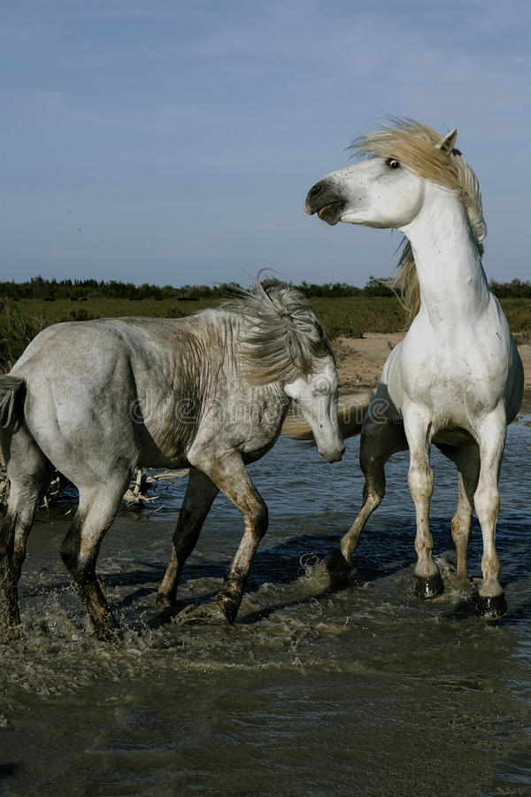 Twee Witte en Paarden die spelen bespatten stock afbeeldingen