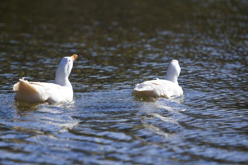 Twee witte grote ganzen die vreedzaam samen het drijven op de oppervlakte van stil duidelijk blauw water zwemmen Schoonheid van v royalty-vrije stock afbeeldingen