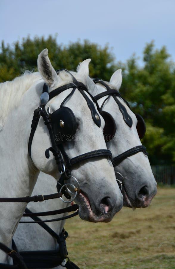 Twee witte hoofdpaarden royalty-vrije stock afbeeldingen