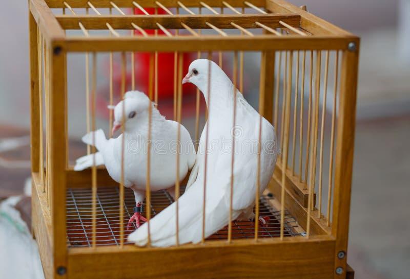 Twee witte huwelijksduif in een kooi royalty-vrije stock afbeeldingen