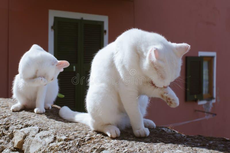 Twee Witte Katten die Hun Poot schoonmaken stock afbeeldingen