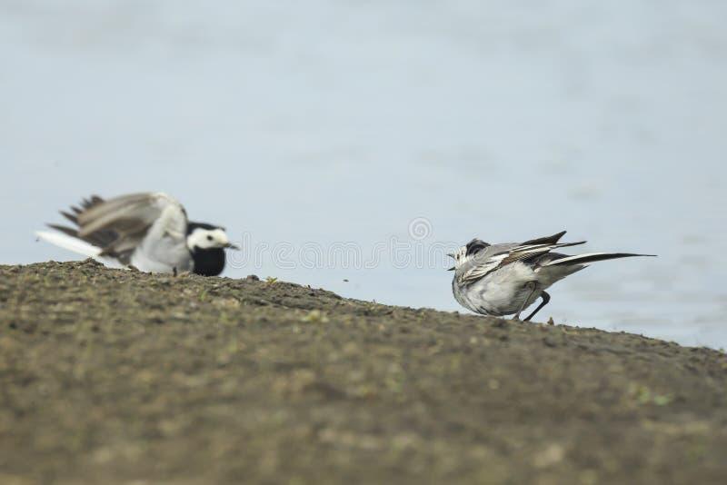 Twee Witte Kwikstaartvogels, alba Motacilla, het vechten royalty-vrije stock foto