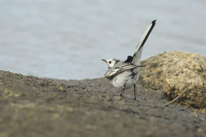 Twee Witte Kwikstaartvogels, alba Motacilla, het vechten stock foto
