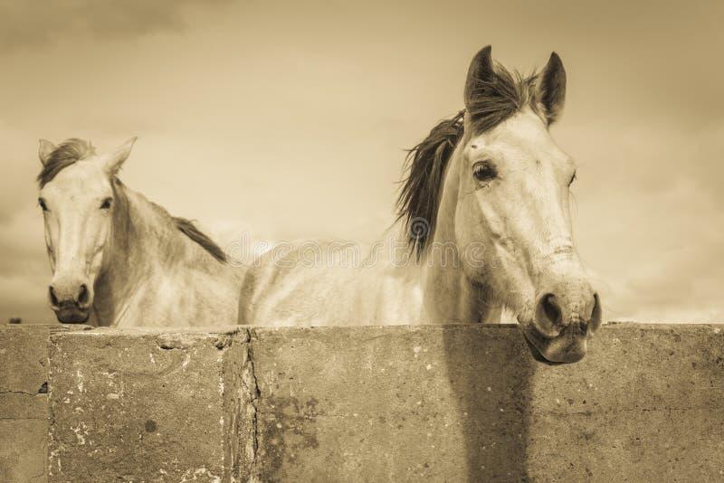 Twee witte paarden royalty-vrije stock fotografie