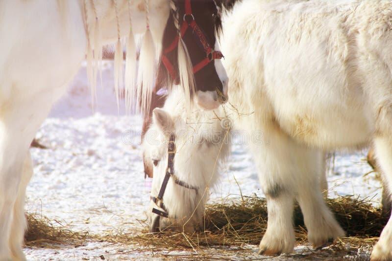 Twee witte paarden die haver eten stock fotografie