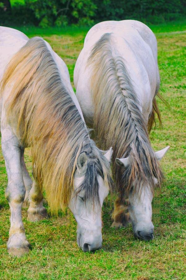 Twee witte paarden met coiffed manen neer weiden op groen gras, snuit stock afbeelding