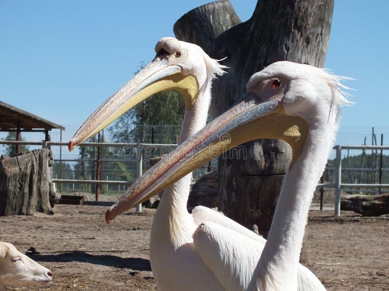 Twee witte pelikanen stock fotografie