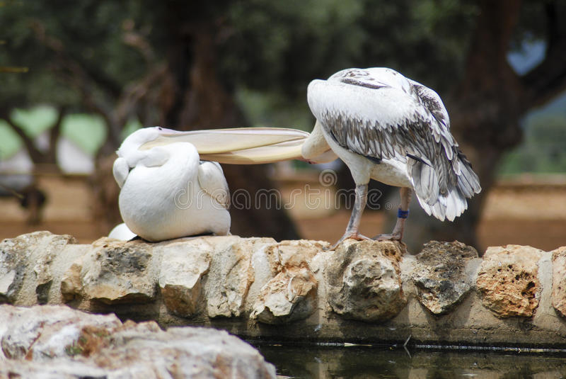 Twee witte pelikanen royalty-vrije stock foto's