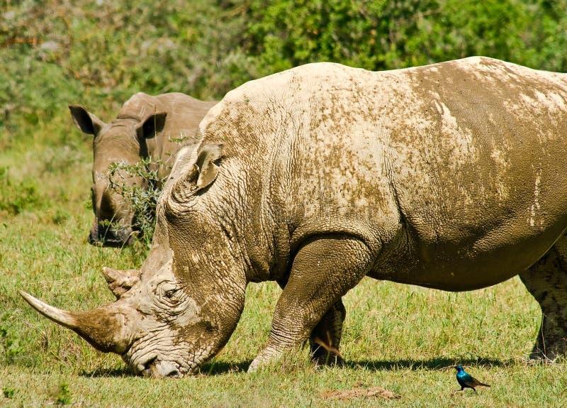Twee witte rinocerossen royalty-vrije stock foto