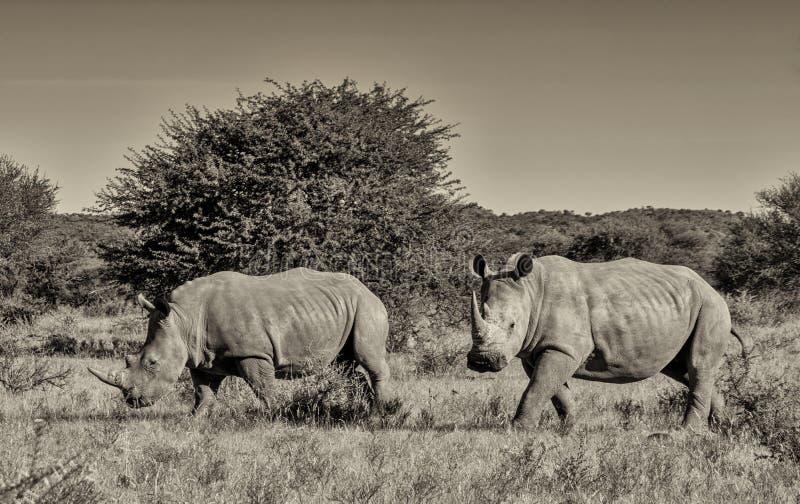 Twee witte rinocerossen royalty-vrije stock afbeeldingen