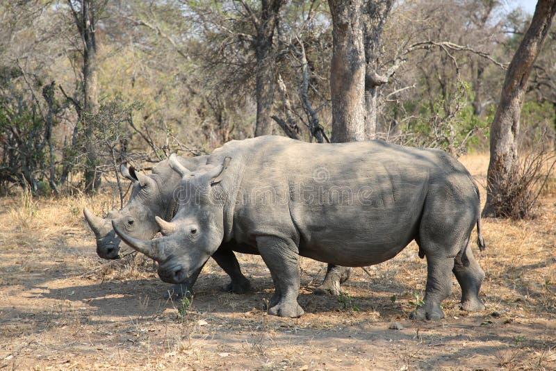 Twee witte rinocerossen in het Nationale Park van Kruger stock afbeeldingen