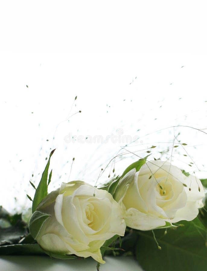 Twee witte rozen stock foto