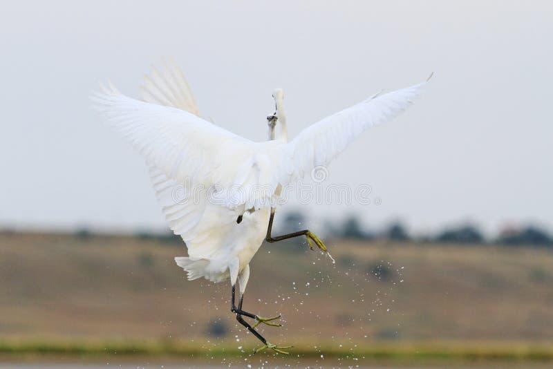 Twee witte vogels bestrijden tijdens de vlucht gezicht aan royalty-vrije stock foto