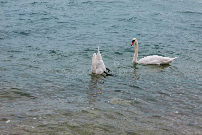 Twee witte zwanen stock foto