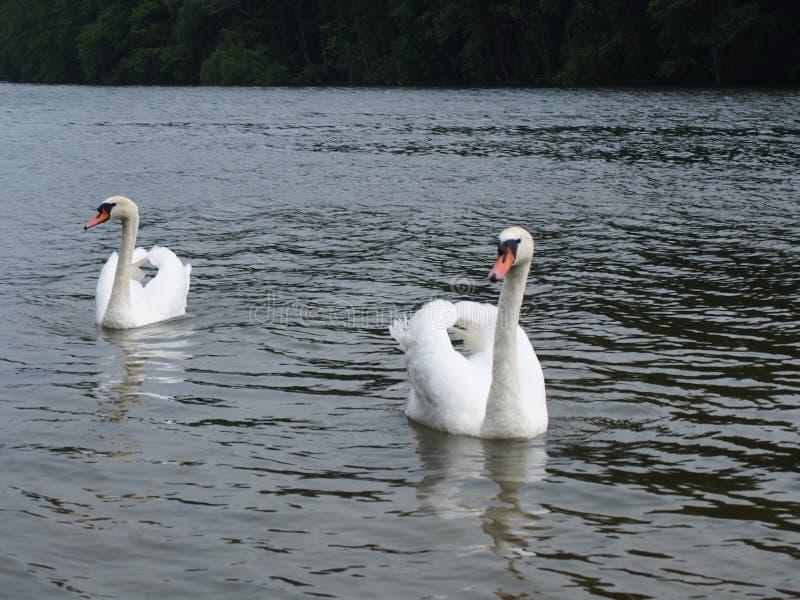 Twee witte zwanen in een meer Szczedin Polen 2013 stock fotografie