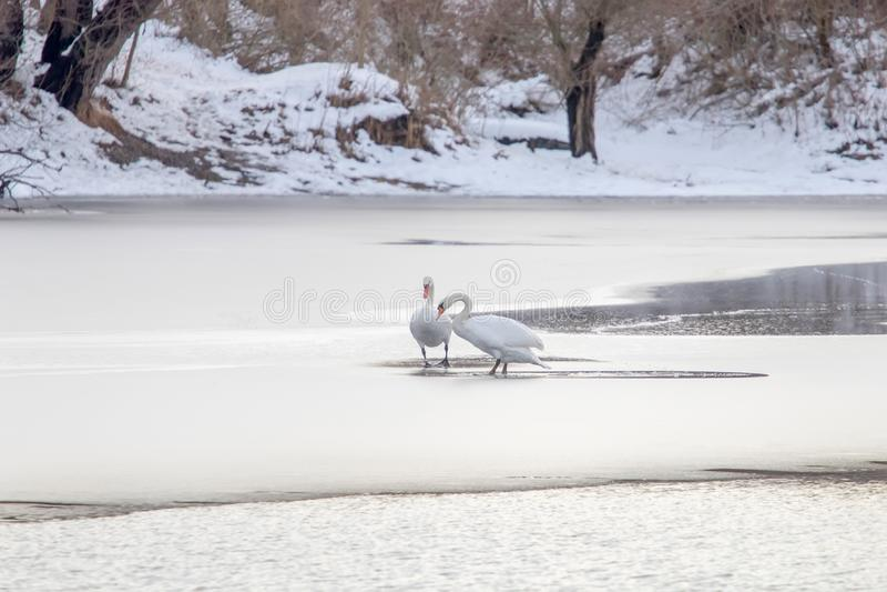 Twee witte zwanen op bevroren meer De winter Bevroren Meer royalty-vrije stock fotografie