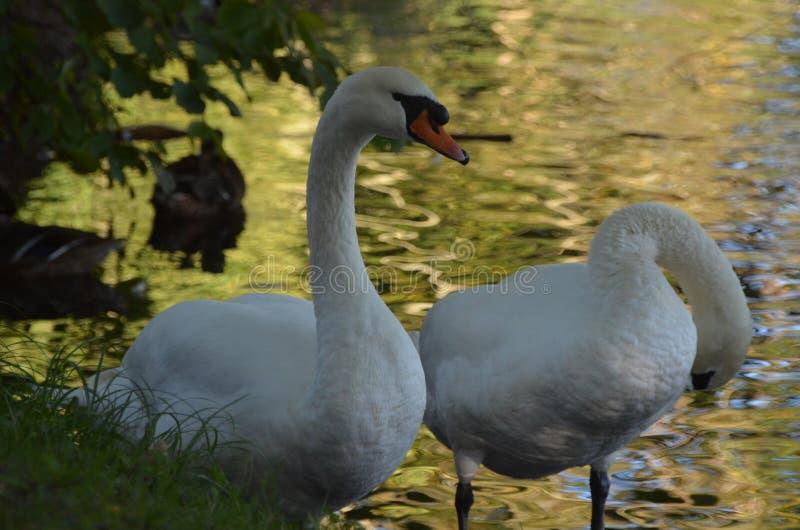Twee witte zwanen op de kust van een meer tussen bladeren en struiken, bevallige vogels buiten het water royalty-vrije stock foto's