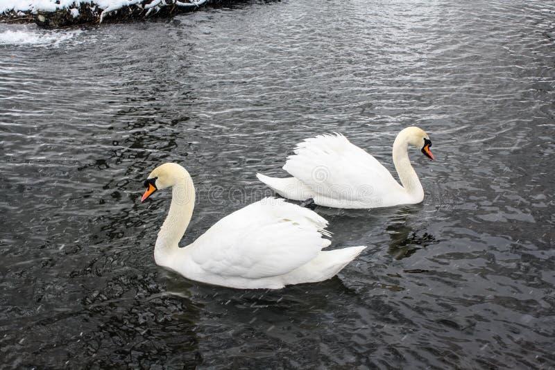 Twee witte zwanen op een de wintervijver stock foto's
