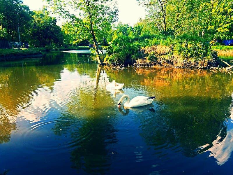 Twee witte zwanen op een vijver stock foto