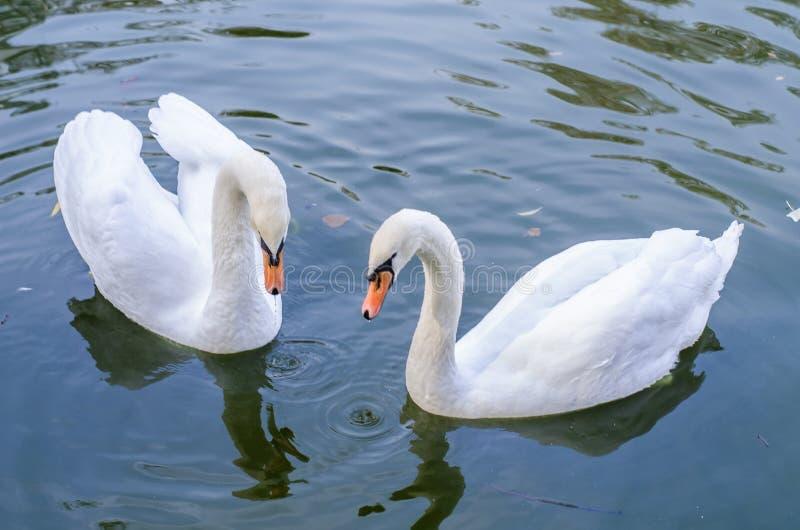 Twee witte zwanen zwemt samen in een vijver close-up royalty-vrije stock foto
