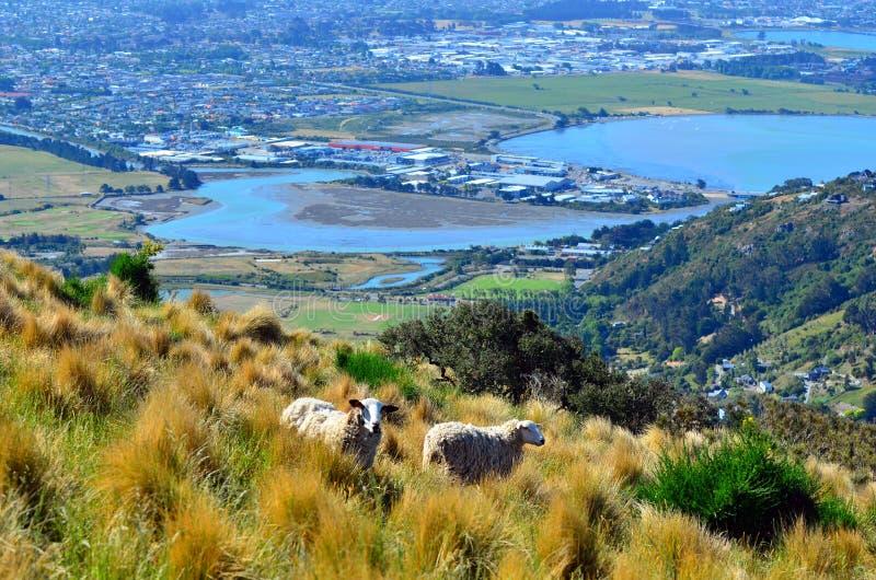 Twee wolschapen tegen luchtlandschapsmening van Christchurch - N royalty-vrije stock fotografie