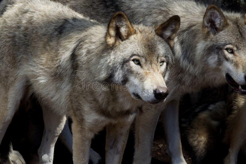 Twee wolven in het bos stock fotografie