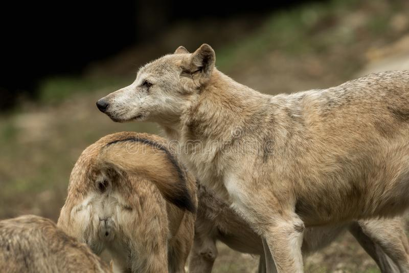 Twee wolven het spelen royalty-vrije stock foto