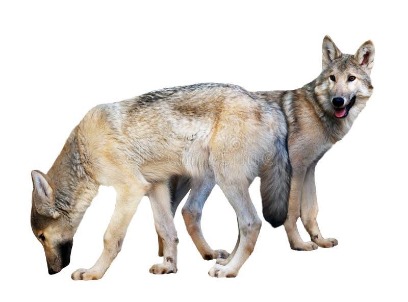Twee wolven over wit stock afbeelding