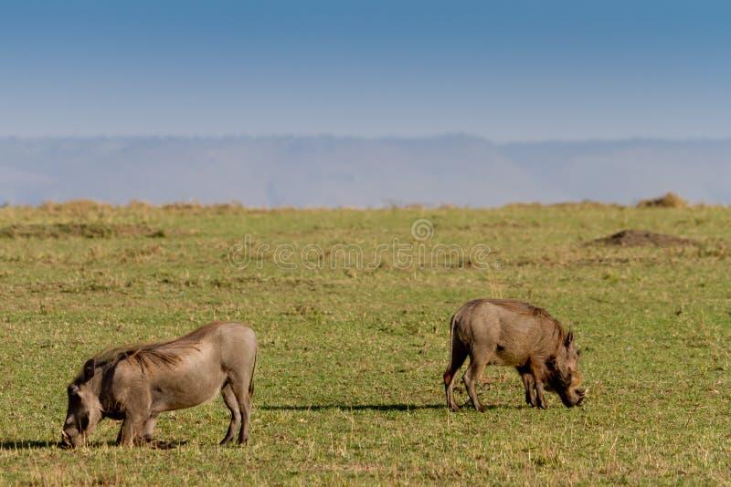 Twee wrattenzwijnen die in masai mara weiden royalty-vrije stock foto