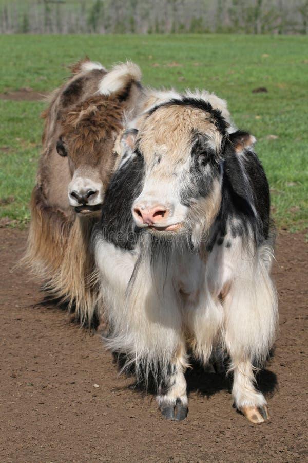 Twee yaks royalty-vrije stock foto
