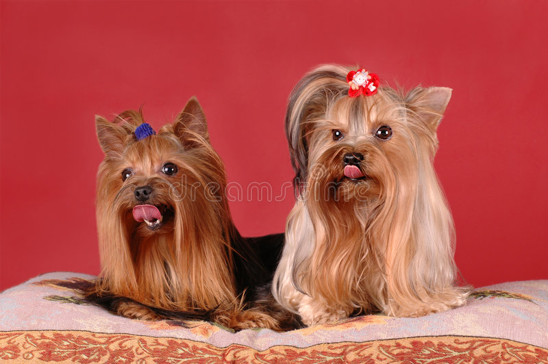 Twee Yorkshire terriers op rode achtergrond stock afbeelding