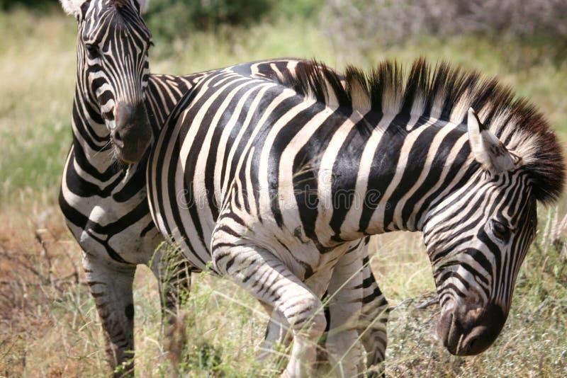 Twee zebragevecht stock foto
