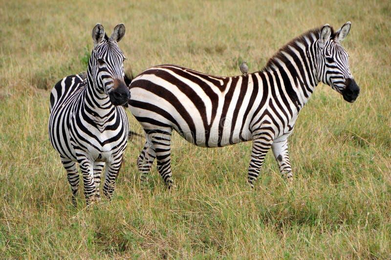 Twee zebras royalty-vrije stock afbeelding