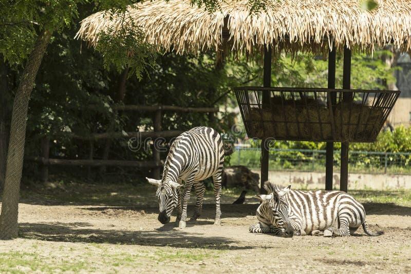 Twee Zebras stock fotografie