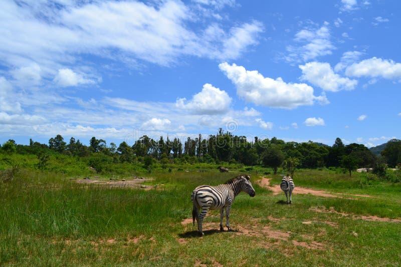 Twee zebras op het gras royalty-vrije stock fotografie
