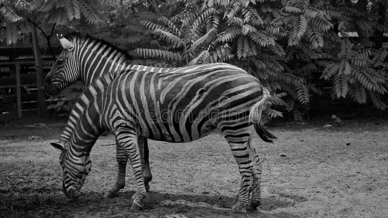 Twee zebras op zwart-wit royalty-vrije stock afbeelding
