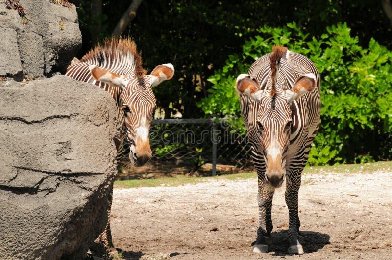 Twee zebras van Grevy stock afbeeldingen