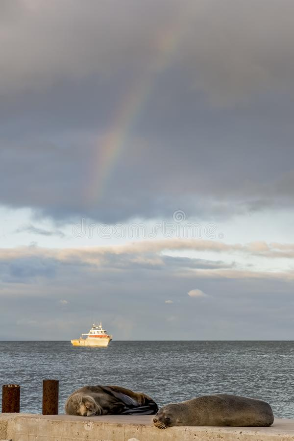 Twee zeeleeuwen rusten op het strand met een vissersboot op de achtergrond en de regenboog in de hemel, Kingscote, Australië royalty-vrije stock foto's