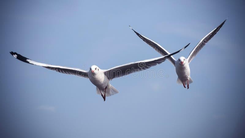 Twee zeemeeuwen die in de blauwe hemel vliegen stock afbeelding