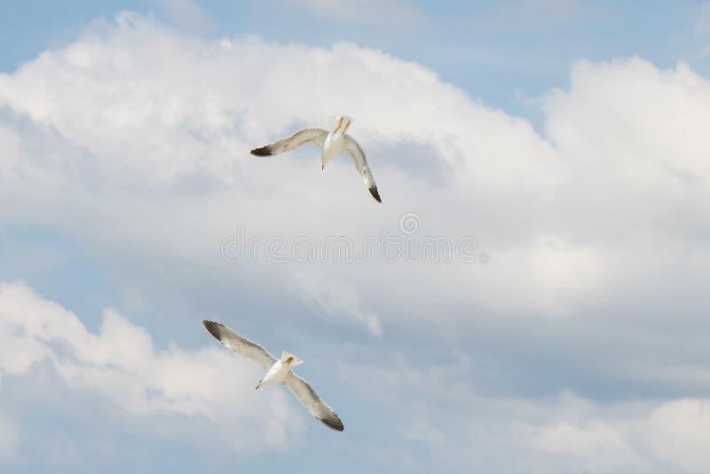 Twee zeemeeuwen die in de brigh blauwe hemel vliegen met witte wolken stock foto