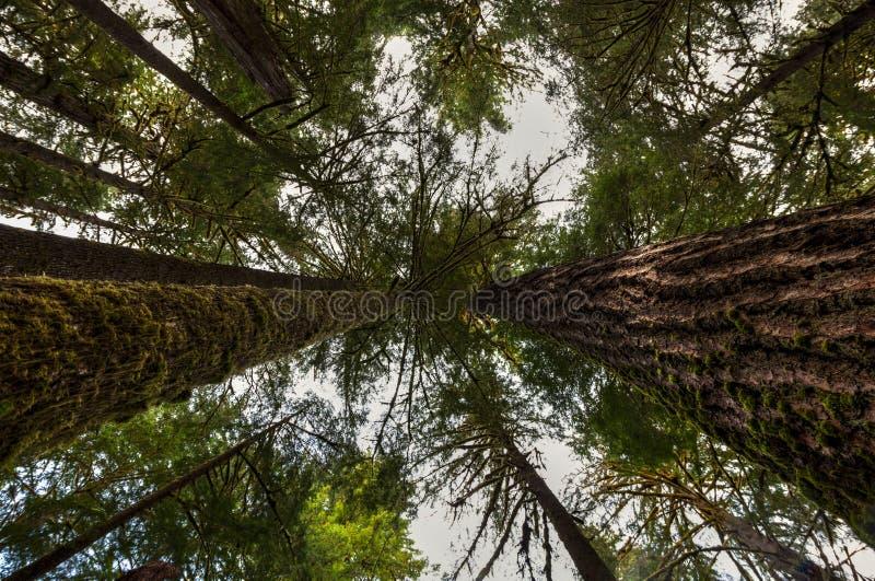Twee zeer grote Californische sequoia's aan elke kant richten tot de hemel terwijl het kijken omhoog naar de luifel in Hoh Rain F royalty-vrije stock fotografie